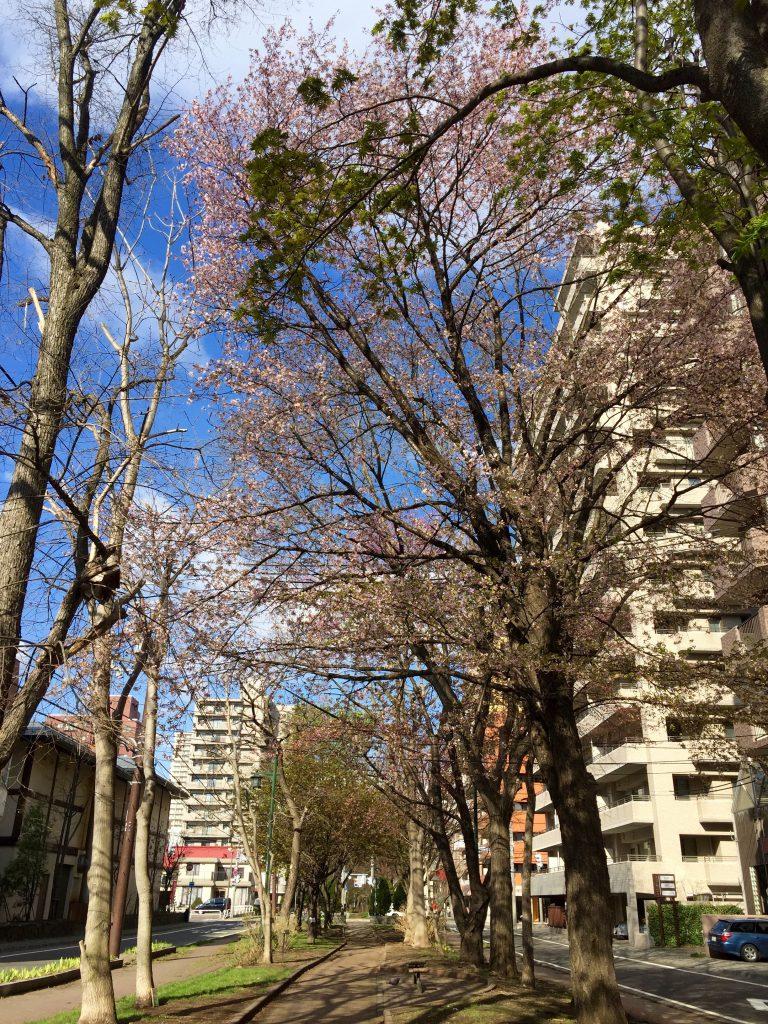 ミニ大通の桜